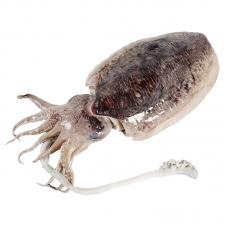 Cuttlefish (average 2-2.2lb/each)