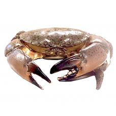 1 stone crab (average 0.9-1.2lb/ea.)