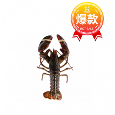 Lobster - S (Average 1lb/ea)