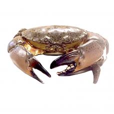 Instant Sale Stone Crab(limit 2 pre order)