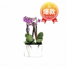 "Purple Double Mini 3"" Orchid"